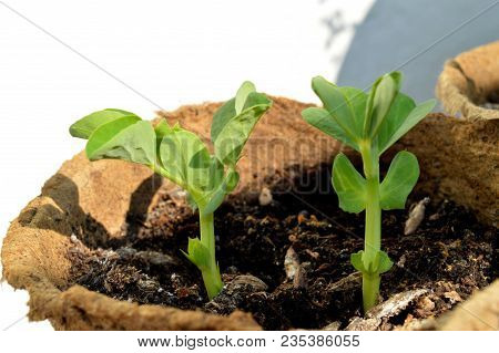 Sprouted peas in organic soil and peat pot. Germinated pea green sprouts. Pea sprouts seedling emerging from the spring soil. Young seedling of a sprouts peas (Pisum sativum) growing in peat pot. stock photo