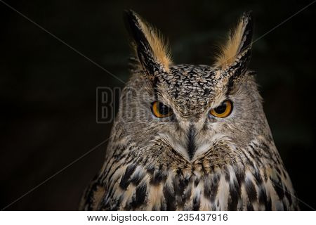 A Long-eared Owl (Asio otus) portrait with dark background, close-up. stock photo