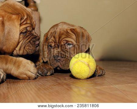 Bordeaux Dog Puppy - French Mastiff - Eight Weeks - Funny stock photo