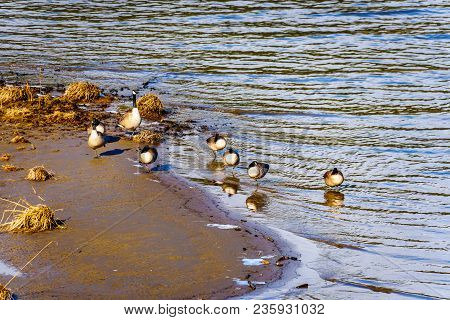 Flock of Canada Geese at Pitt Lake near the town of Maple Ridge in the Fraser Valley of British Columbia, Canada stock photo