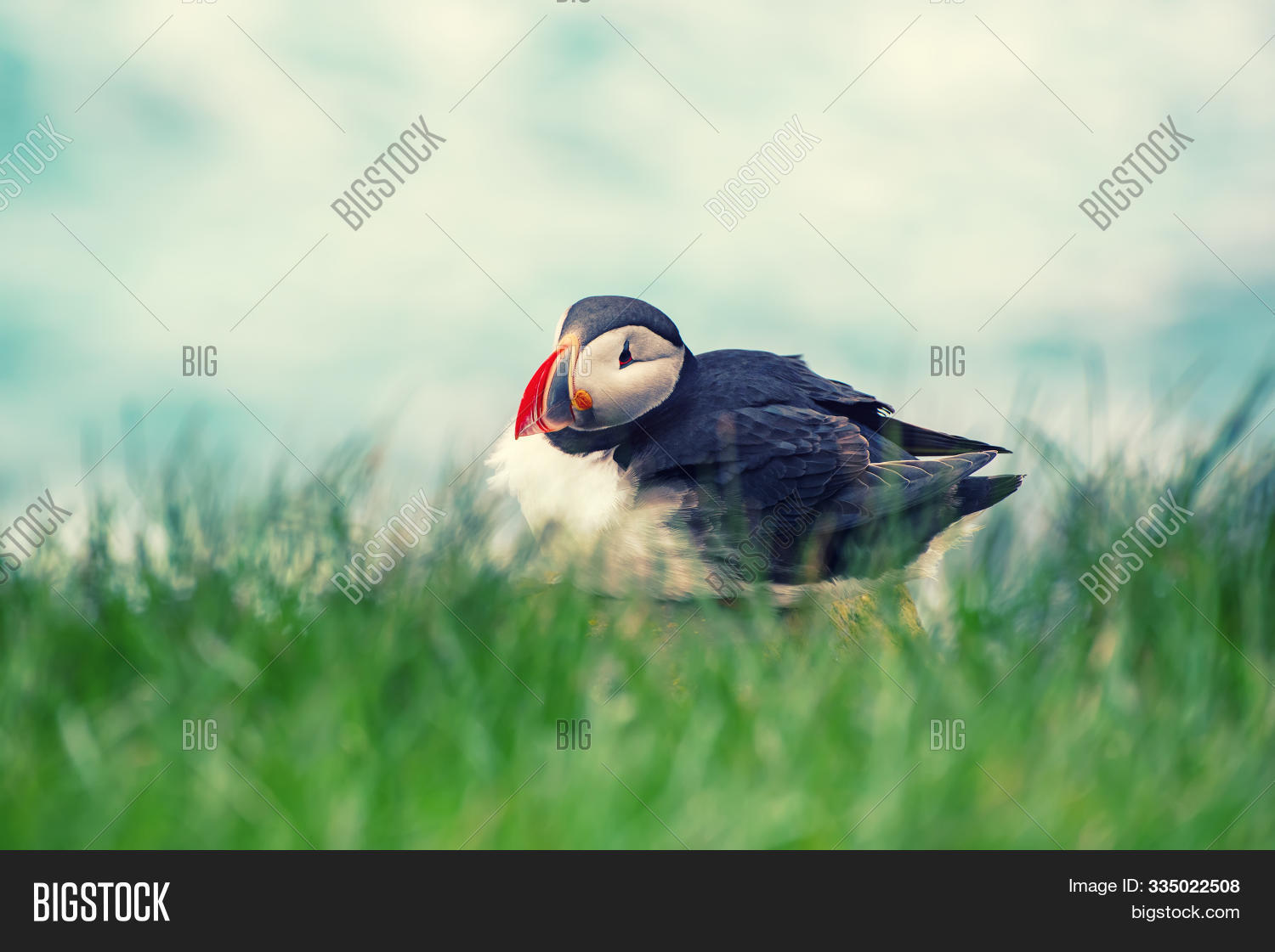 animal,arctic,arctica,atlantic,background,beak,beautiful,bird,black,cliff,close-up,closeup,coast,colorful,common,cute,europe,fauna,fratercula,grass,green,greenland,iceland,icelandic,island,natural,nature,north,northern,norway,ocean,one,orange,portrait,puffin,scandinavia,scandinavian,sea,seabird,single,stone,summer,travel,view,water,white,wild,wildlife,wing