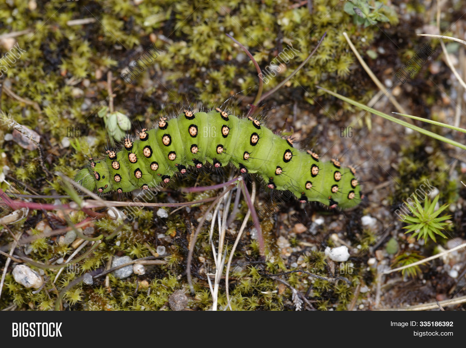 Britain,British,Caterpillar,Emperor,Green,Hairy,Heath,Highland,Horizontal,Insect,Landscape,Large,Larvae,Lepidoptera,Moor,Moorland,Moth,Nature,Saturnia,Saturniidae,Scotland,Spikes,Spiney,Spots,Summer,UK,Wild,Wildlife,pavonia