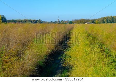 Growing cycle of white asparagus plants on farmers fields, autumn season in North Brabant, Netherlands stock photo