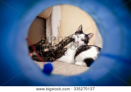 Tortie kitten playing with her bicolor cat sister stock photo