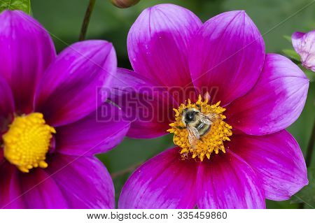 Vibrant delicate pink dahlia flower on summer sunlight in the garden. Blooming dahlias flowers with honey bee gathering nectar, close up view stock photo