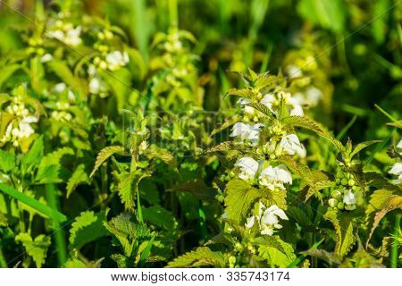 closeup of a big group of white dead nettle plants in bloom, common wild plant specie from Eurasia stock photo