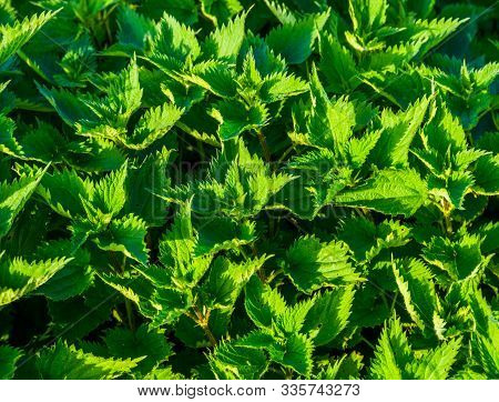 closeup nettle plants, common plant specie from Eurasia, background of green leaves stock photo