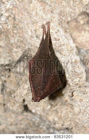 Lesser Horseshoe Bat (Rhinolophus hipposideros) hibernation in a cave stock photo
