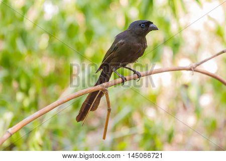 Racket-tailed Treepie.(Crypsirina temia) in forest of Thailand stock photo