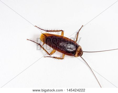 Cockroaches carry diseases that you have to eliminate before you are infected with a lot of Cockroaches. Cockroaches Invasion kitchen He ate at the falls. Isolate on the white background. stock photo