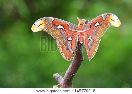 attacus atlas, butterfly, night, orange, red, nature, macro, beauty, green, forest stock photo