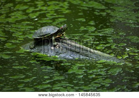Red-eared slider (Trachemys scripta elegans), also known as the red-eared terrapin. Wildlife animal.  stock photo