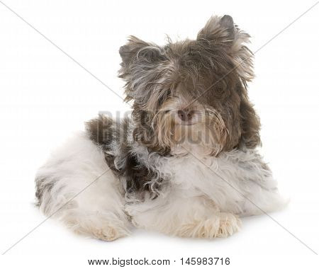 puppy biro yorkshire terrier in front of white background stock photo