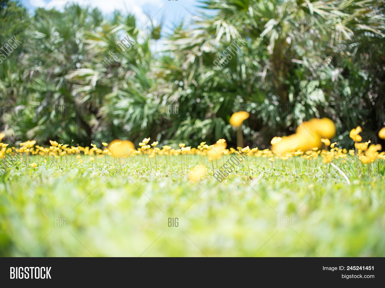 Perennial Peanut Also Yellow Arachis Pintoi Flower Ground Cover