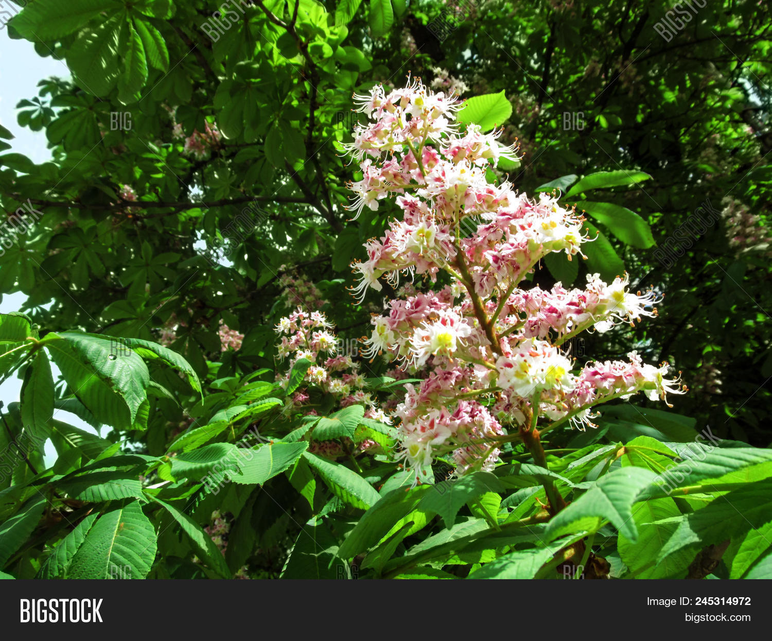 The Erect Panicle Of Horse Chestnut With Pink White Flowers On A