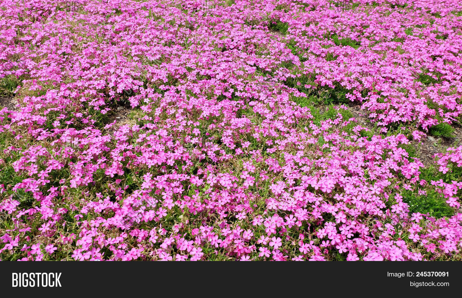 pink moss background pink moss phlox flowers and red of one side alpine mightylinksfo