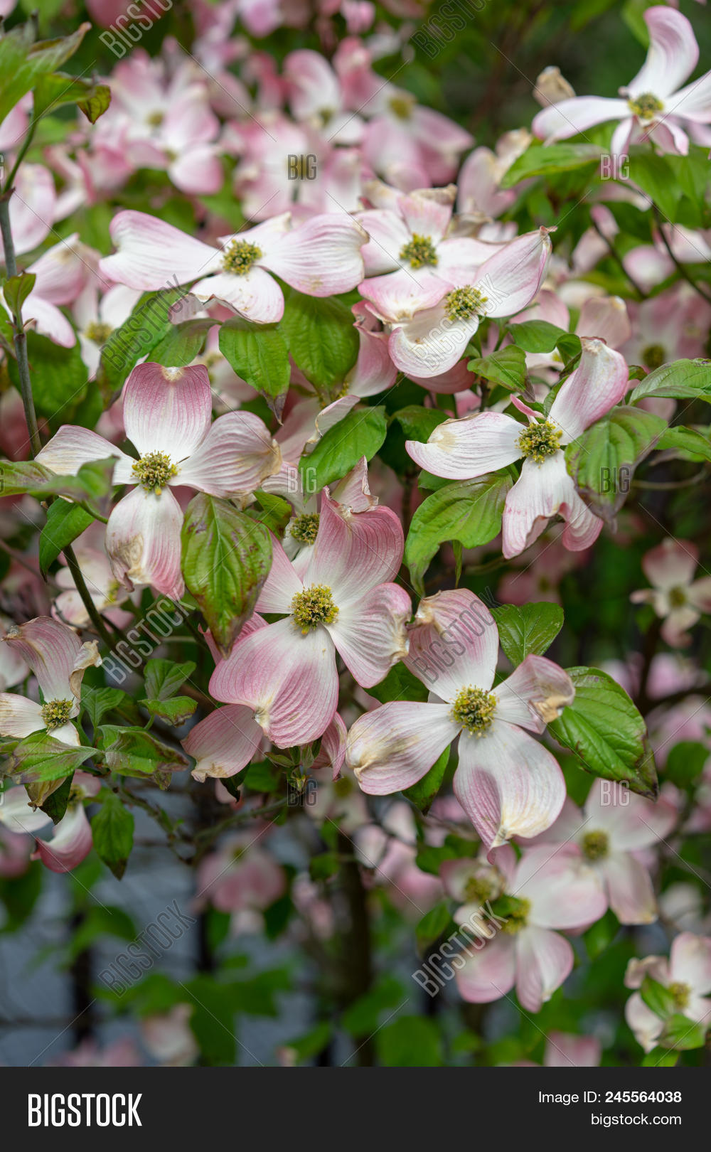 A Close Up View Of Pink Dogwood Flowers Cornus Florida Rubra
