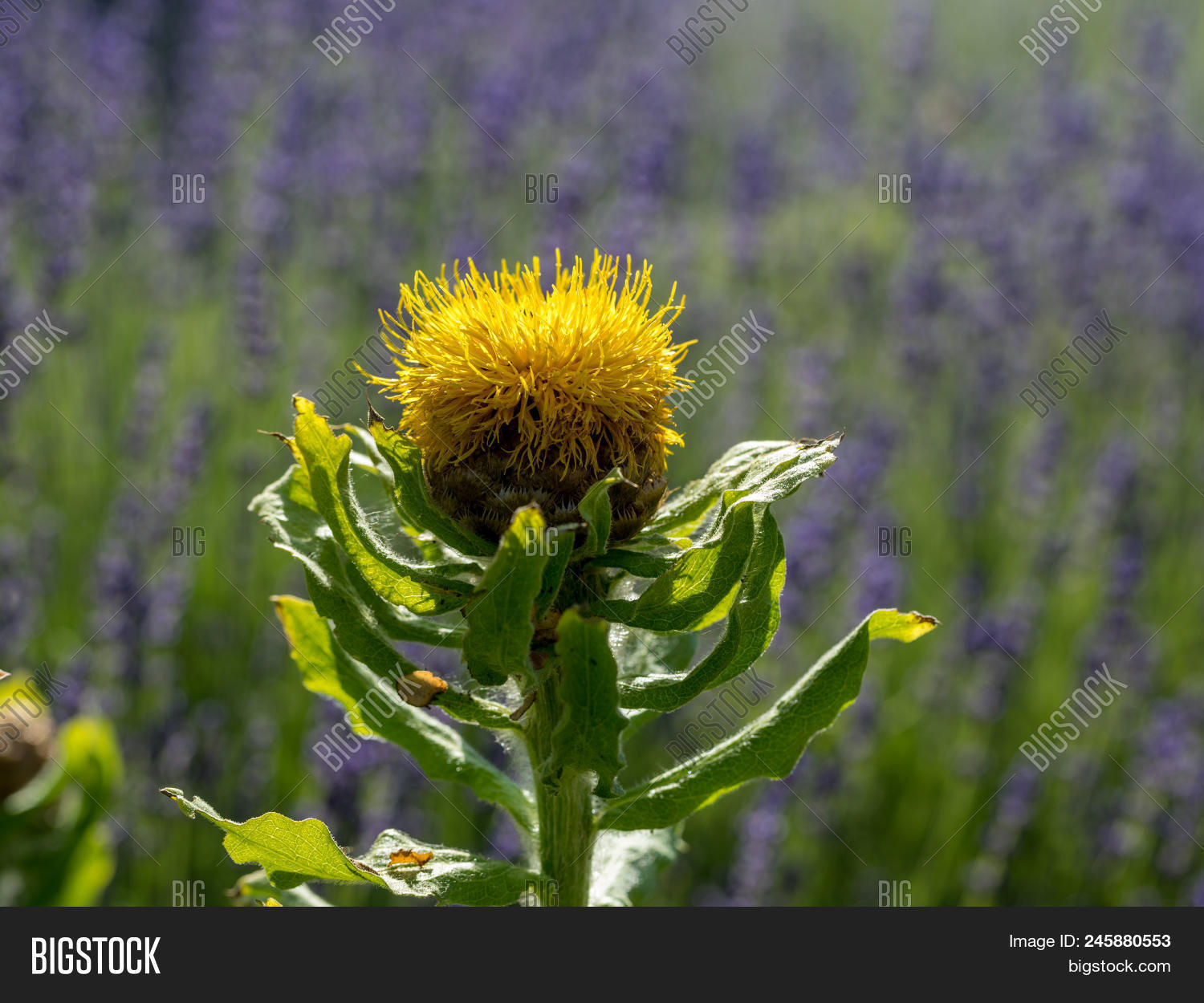 Blooming Yellow Star Thistle Flowers On Lavender Field Background