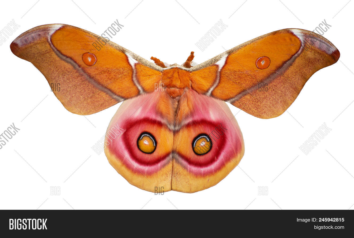 Africa,Antherina,Madagaskar,abdomen,antennae,aposematic,aposematism,attractive,background,beautiful,beauty,bright,brown,butterfly,card,close-up,closeup,coloration,cut,entomology,eyespot,fauna,flight,fly,fragile,frighten,greeting,insect,invertebrate,isolated,lepidoptera,life,macro,male,moth,natural,no,ochre,on,out,pink,red,saturniid,saturniidae,sematic,silk,suraka,warning,white,wing