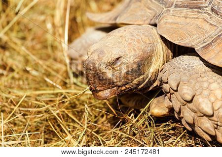 Very Large Turtle With Powerful Columnar Legs And A Relatively Small Head. Slow Life Of Land Tortois