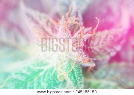 🔥 Detail Of Cannabis Cola (mangolope Marijuana Strain) With