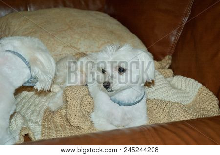 Adorable Maltese puppies playing on a brown leather couch. stock photo