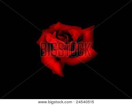 Red rose in black background with shadows. stock photo
