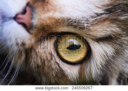 Young Surprised Cat Make Big Eyes Closeup. American Shorthair Surprised Cat Or Kitten Funny Face Big
