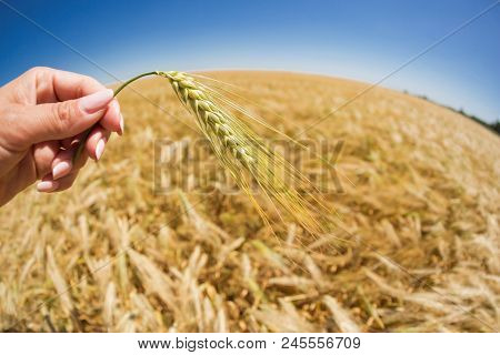 a female hand holds wheat spikes on a background of a golden wheat field and a blue sky, a fisheye lens, distortion stock photo