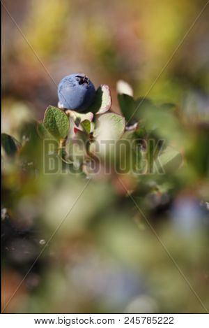 Close-up of a bog blueberry, Vaccinium uliginosum, in summer on the tundra, near Arviat Nunavut stock photo