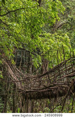Living roots bridge near Nongriat village, Cherrapunjee, Meghalaya, India. This bridge is formed by training tree roots over years to knit together. stock photo