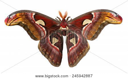 Male giant atlas silk moth, Attacus atlas, isolated on white background. Atlas moth is one of the largest moths in the world. It has snake head-like images on tips of wings and feather-like antennae stock photo