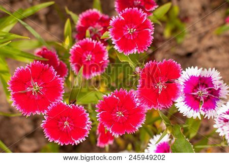 Carnation Dianthus chinensis pink and beautiful flowers. stock photo