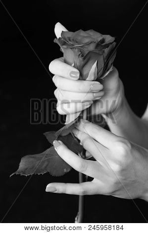 Rose in hands. Rose flower gift. Tender as flower. Feel passion and love. Beauty. Gardening and life extension. Valentines day romance, black and white. stock photo