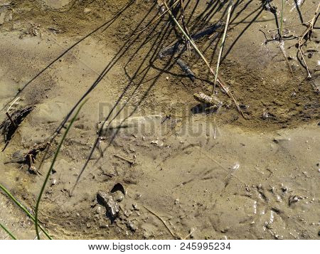 A frog standing next to recent bird steps in the mud in a puddle on a riverbank stock photo