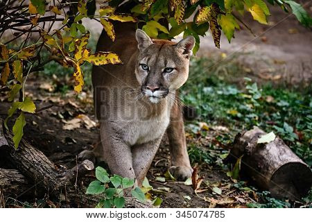 Portrait of Beautiful Puma in autumn forest. American cougar - mountain lion, striking pose, scene in the woods, wildlife America. stock photo