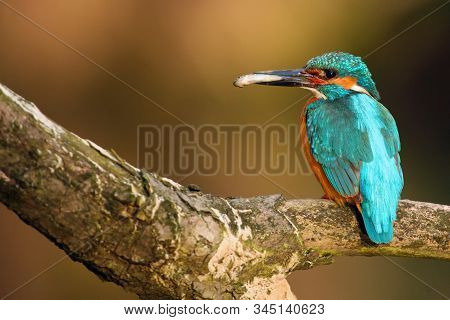 The common kingfisher (Alcedo atthis) also known as the Eurasian kingfisher or river kingfisher sitting on the branch. Common kingfisher with the fish on the beak with orange background. stock photo