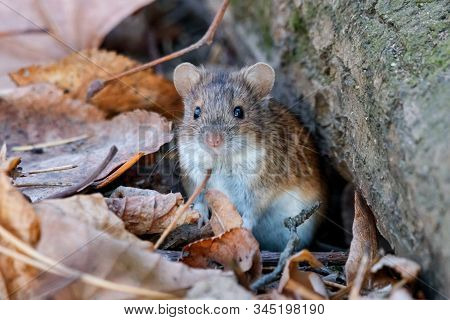 Striped field mouse sitting on ground in park in autumn. Cute little common rodent animal in wildlife. stock photo