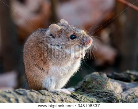 Striped field mouse sitting on fallen tree in park in autumn. Cute little common rodent animal in wildlife. stock photo