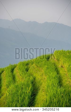 Rice growing slowly on the Longji rice terraces, northeast of China`s Guangxi Zhuang Autonomous Region stock photo