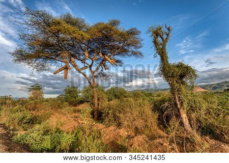 Ethiopian landscape with traditional bee hives on an acacia tree. Ethiopia, near lake Chamo. Africa stock photo
