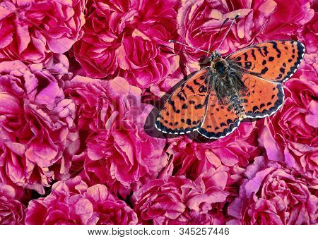 red butterfly on pink roses. pink roses flowers texture background. spotted fritillary butterfly. stock photo
