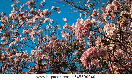 close up beautiful landscape of spring with pink flower .Blooming tree twigs .pink  flowers blooming on tree in springtime .Beautiful cherry blossom sakura in spring time over blue sky. stock photo