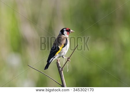 European goldfinch sitting on dry blade of grass after eating dandelion seeds. Side view with blurred background. Beautiful colorful songbird. Bird in wildlife. stock photo