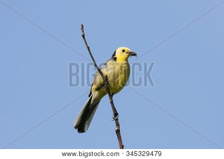Citrine wagtail male sitting on stick with grasshopper in beak. Bright yellow songbird. Front view with blue sky on background. Bird in wildlife. stock photo