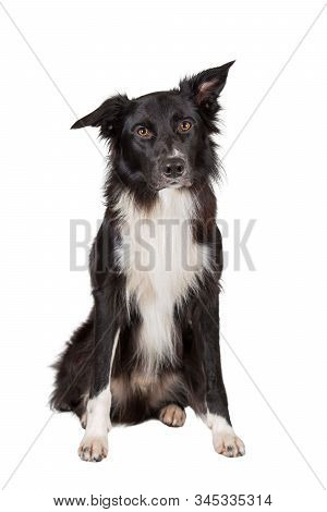 Full length portrait of an adorable purebred Border Collie looking curious to camera isolated on white background with copy space. Funny black and white dog try to be serious. stock photo