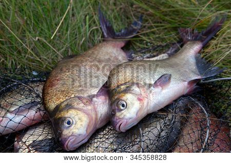 Good catch. Close up view of just taken from the water big freshwater common bream known as bronze bream or carp bream (Abramis brama) and fishing rod with reel on keepnet with fishery catch in it. stock photo