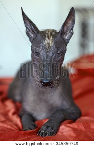 The portrait of a beautiful dog of rare Xolotizcuintle breed, or mexican hairless one, on bright red cover. Standard size, front view, close up head, bronze skin, ears up. Indoors, selective focus, copy space, light aquamarine background. stock photo