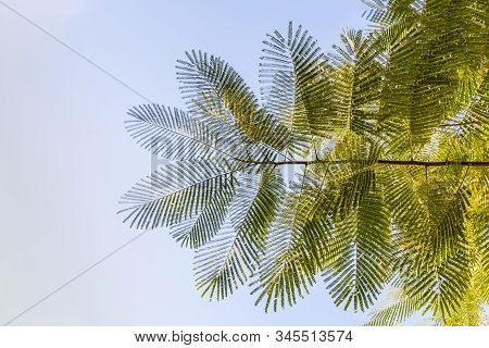Beautiful big green Acacia mearnsii tree leaves are on the blue sky background stock photo
