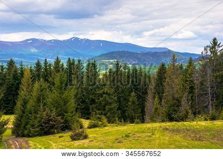 forested hills of Carpathians in spring. spruce trees on the grass covered meadow. borzhava mountain ridge with some snow on the tops in the distance. fresh weather with clouds on the sky stock photo